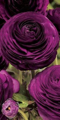 deep purple ranunculus