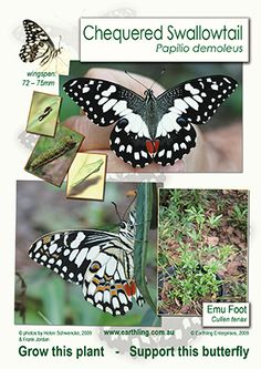 Chequered Swallowtail butterfly poster
