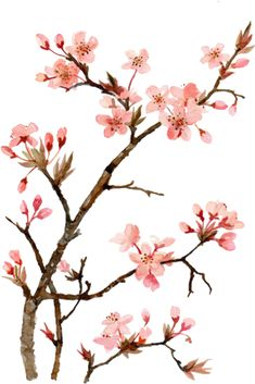 Flowers – Kristina R. Cherry Blossom Drawing, Cherry Blossom Japan, Japanese Cherry Blossoms, Cherry Blossom Watercolor, Cherry Blossom Flowers, Cherry Blossom Branches, Sola Wood Flowers, Japanese Flowers, Art Plastique