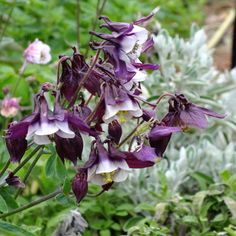 Any columbine (was Aquilegia vulgaris 'William Guiness' ('Magpie')  A recent introduction with striking flowers in bicolour white and deep purple (near black). The flowers are of traditional nodding A. vulgaris form with well flared petals and curve-tipped spurs. Would look good in a mixed cottagey border Best in light shade. 90cm    HARMFUL IF EATEN