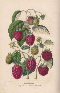 Risultati immagini per vintage botanical illustrations