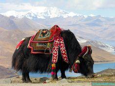 Yak in Tibet , China