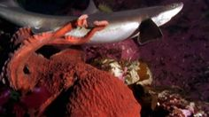 An octopus grabs hold of a shark and won't let go.