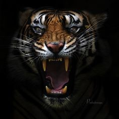 Angry Tiger - Panthera Tigris Sumatrae by Prabu Dennaga Angry Animals, Animals And Pets, Cute Animals, Tiger Wallpaper, Animal Wallpaper, Mobile Wallpaper, Tiger Fotografie, Beautiful Cats, Animals Beautiful