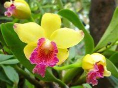 #Orchidee jaune-soleil avec un peu de fushia. #Fleur