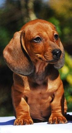 Brown Doxie puppy