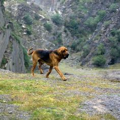 The Five Most Popular Hound Dog Breeds All Dogs, I Love Dogs, Best Dogs, Dogs And Puppies, Cute Dogs, Doggies, Hound Dog Breeds, Bloodhound Dogs, Most Popular Dog Breeds