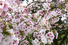 京都御苑 車還桜(くるまがえしさくら)すぐ北側の桜(2)2009.04.12 /アンジュー フォトギャラリー