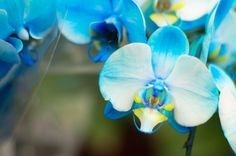 With the exception of black, orchids sport basically every color of the rainbow. Although rare, there are even blue orchids, and the flowers  bloom in dual color combos, too.    - HouseBeautiful.com
