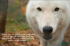 Wolves Husky Hybrid, Lone Wolf Quotes, Wolf Wallpaper, Faith In Humanity, Werewolf, Spirit Animal, Polar Bear, Wolves, Animals