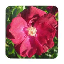 Rose Red Open Drink Coaster