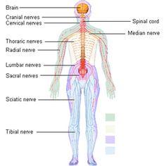 nervous system diagram - Google Search | Places to Visit ...