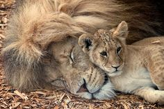 Lion & Cub by Paul Mansfield. Beautiful