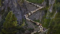 Valais Blacknose sheep in Valais, Switzerland (© Alessandra Meniconzi/Solent News/REX/Shutterstock) – 2017-03-06 [http://www.bing.com/search?q=valais+blacknose+sheep&form=hpcapt&filters=HpDate:%2220170306_0800%22]