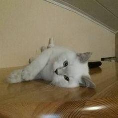 Bkh kitten sucht dich in Erwitte