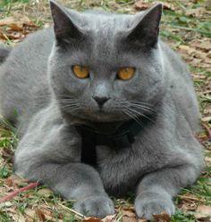 chat de race chartreux