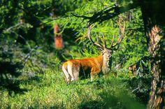 Il maestoso Cervo Coronato della Valle d'Aosta, immortalato da Mauro Borbey