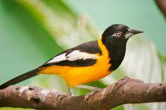 El canto del turpial es genial... tenemos que inspirarnos en el para crear una colección en www.kiwi.com.co