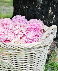 The SECRET to blooming hydrangeas is fertilizing with coffee grounds.