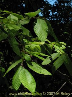 Image of Nothofagus alpina (Raulí / Roblí). Click to enlarge parts of image.