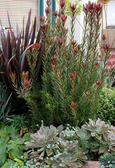 Leucadendron 'Safari Sunset' (the shrub) is large, evergreen and open and has fantastic flowers great for cutting.