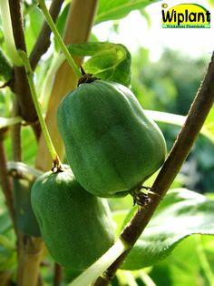 Actinidia kolomikta 'Annikki', minikiwi. Finsk honklon. Får små krusbärsstora frukter. Självfertil. Växer 2-4 m.