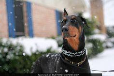 . Weimaraner, Rottweiler, Doberman Love, Dane Dog, Kinds Of Dogs, Doberman Pinscher, Perfect World, Dachshund, Dogs And Puppies