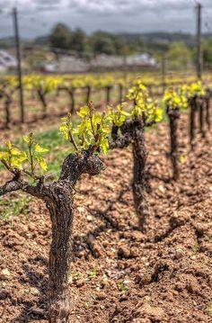 Vineyard – Viñedos en Canedo  Castill-León (Spain) #ItalianWine Grape Vine Pruning, Grape Vineyard, Grape Plant, Wine Vineyards, Napa Valley Wine, Vides, Italian Wine, Garden Trellis, Fruit Garden