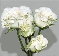 First choice for spray rose: Spray Rose White Majolika