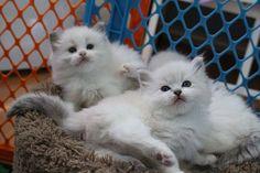 Ragdoll kittens www.rockcreekranchragdolls.com