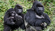 Gorillas...98.6% Human - Endangered Animals - explore