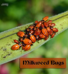 Stop Milkweed Pests from Ruining Milkweed for Monarchs. Milkweed Bugs eat milkweed and sometimes monarch eggs and small caterpillars. They also gather on seed pods sucking out valuable nutrients that can affect the germination rate of the seeds. Garden Bugs, Garden Pests, Herbs Garden, Fruit Garden, Butterfly Plants, Monarch Butterfly, Grow Butterflies, Milkweed Plant, Hummingbird Garden