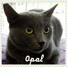 [Walnut Creek, CA] (26 miles) ~~Russian Blue/Domestic Short Hair~~ She was trapped in a residential Walnut Creek neighborhood after being left behind when family moved.  She takes a little time to get to know and trust you but when she does, she purrs, blinks and loves being pet.  She's beautiful, petite and is easy going.  She is comfortable with other cats.  Needs a calm loving home.