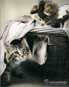 Bruno and Bo (Maine Coon) - You got yourself in, so you can get yourself out!