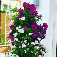 #MyDubai #dubaiart #dubai #fadiradi #summer_time #gardenlove #gardenmagic #gardendesign #diygarden #diygardendesign #Mudon_Villas #Mudon #dp #dubaistyle #flowertower #flowers #sunshine