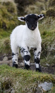 Maybe I'll get a lamb with coloring like this so I can have a black sheep but still dye the wool.Maybe I'll get a lamb with coloring like this so I can have a black sheep but still dye the wool. Cute Baby Animals, Animals And Pets, Funny Animals, Farm Animals, Animals Images, Beautiful Creatures, Animals Beautiful, Sheep And Lamb, Baby Goats