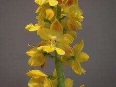 Calanthe bicolor