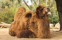 File:Bactrian camel.jpg