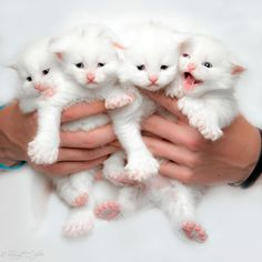 Kittens - title Milky collection.