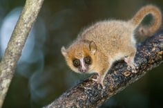 The lemurs' radiation in Madagascar | Nature | The Earth Times