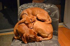 vizsla…the boys, rex and odi Vizsla … die Jungs, Rex und Odi Vizsla Puppies, Cute Puppies, Cute Dogs, Dogs And Puppies, Doggies, Vizsla Dog, Weimaraner, Vizsla Funny, Funny Dogs