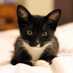 When we moved from South Austin to Oak Hill I got a little black and white kitten that looked like this. We named her Shenandoah.