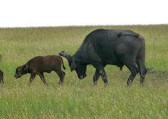 Buffle, bufflonne, bufflon ou buffletin