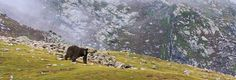 """The Balochistan black bear (Ursus thibetanus gedrosianus) is a subspecies of the Asiatic black bear found in the Balochistan mountains of southern Pakistan and Iran. In Balochistan, the bear is found in the higher hill ranges of Takht-e-Suliman and Toba Kakar. It is also found in Ziarat, Kalat and Khuzdar. Locally this bear is known as """"mum"""" was once widely distributed in most of Balochistan but now it is considered extinct in most of the areas."""