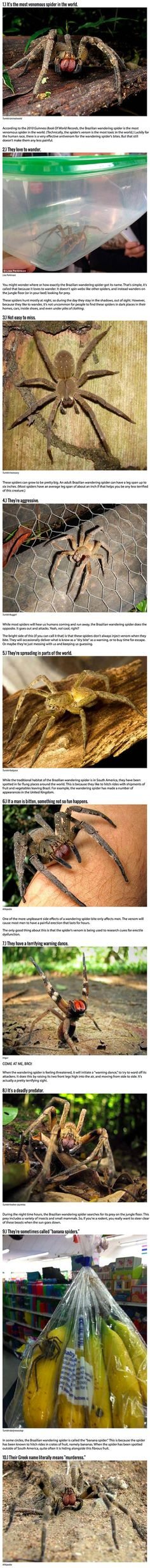 10 Reasons Why The Brazilian Wandering Spider Is Your New Nightmare.
