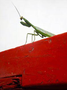 Mantis religiosa buscando insectos. ¿Necesitas fotos como esta para el contenido de tu web? Visita: www.laweb.com.co/contenido-web/