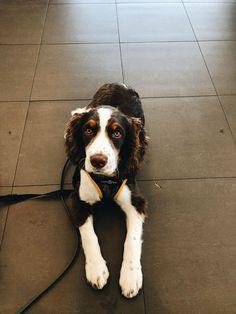Black Lab Puppies, Dogs And Puppies, Corgi Puppies, Husky Dog, Sprocker Spaniel Puppies, Spaniel Dog, Englisch Springer Spaniel, Black Labs, Black Labrador