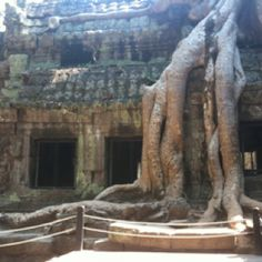 The ancient trees of Angkor Wat, Cambodia