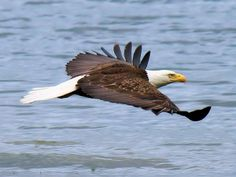 Puget Sound is the natural habitat of the American Eagle....and oh they are something to see as they glide across the sound,