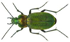 Family Carabidae Size: 24 mm (17-32 mm) Distribution: Western and Central Europe, from the British Isles, Northern Italy Ecology: eurytop and thermophilic Location: England, Warwickshire leg.det. D.J.Mann, 15.IV.1993 Photo: U.Schmidt, 2011